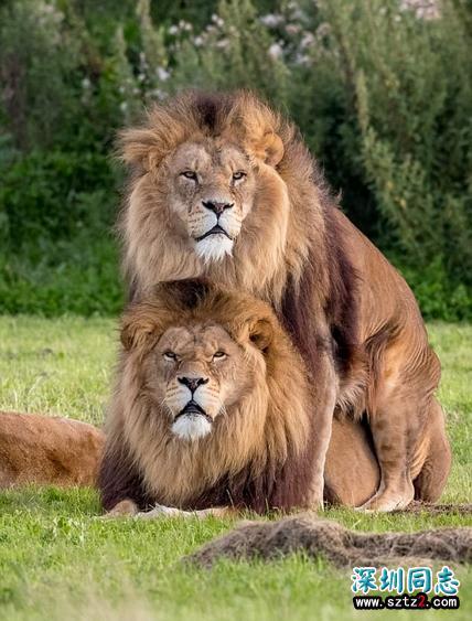 """动物园两雄狮""""搞同性恋"""" 无视母狮场面尴尬"""